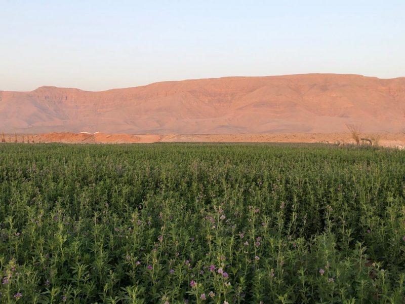 De eerste oogst op een vruchtbaar gemaakt stukje Egyptische woestijn